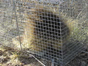 Allstate Animal Control Photo cage trap containing porcupine